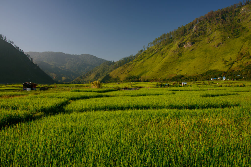 exploring aceh - rice field