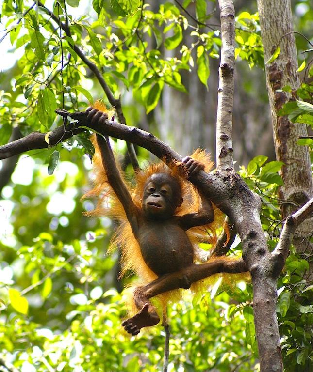 Discovering Orangutans